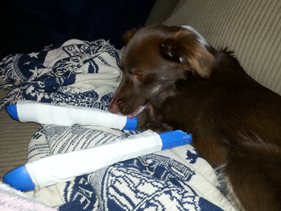 Little Skarlette with her splints before surgery. She remained a happy little dog through it all.